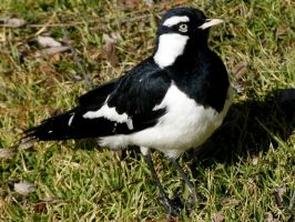 Magpie Lark 2 by SirTimid