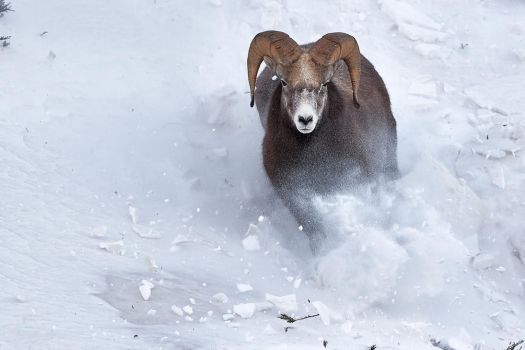Bighorn Ram-Charge! by JestePhotography