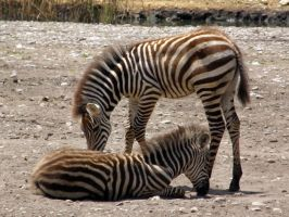 Zebra foals by purple-whirlpool