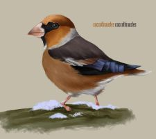Hawfinch by krikra