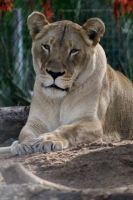 Lioness by I-Heart-Photos
