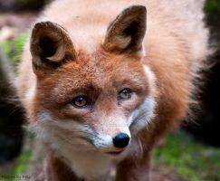 Red Fox by PictureByPali