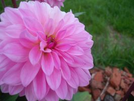 Pink Dahlia by sweetsabee3540