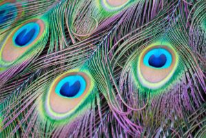 Peacock colours by Steve-FraserUK