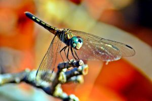 Close up of Dragonfly by aggie00