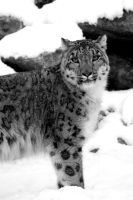 Snow Leopard in the Snow 2 by mia95