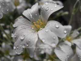 white flower with raindrops by WolvesAngelSiren
