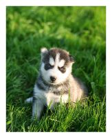 Young Husky by antiparticle