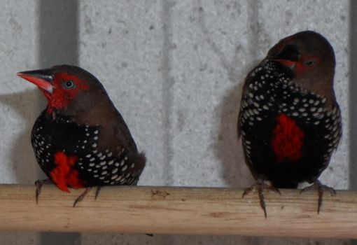 Beautiful Finches by inkcat