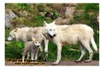 The Arctic White Wolf - family by MrSyn