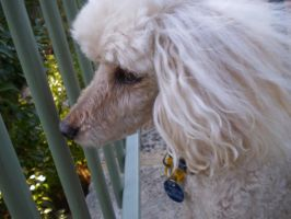 Miniature poodle by Twister4evaSTOCK