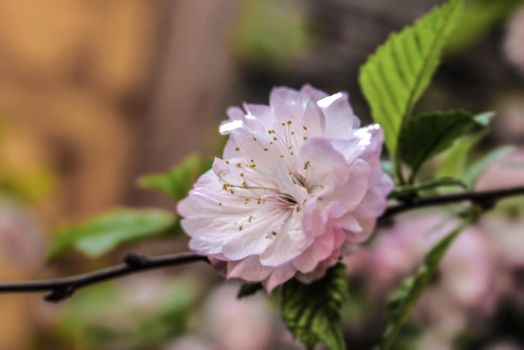 Flowering Pink Almond by Kitteh-Pawz