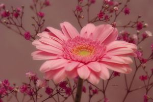 Gerbera with Glamour by Deb-e-ann