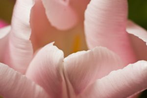 nature 0129 flowers TULIPS by remigiuszScout