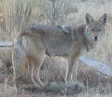 Coyote 1 by Wolf-of-Samhain