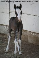Foal - Abe 35 by FantasyDesignStock