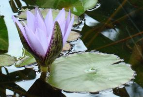 Lotus Flower by SiberianClover-Stock