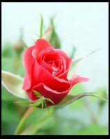 Rose IV by woolfier