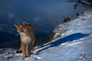 Puma concolor 25 by catman-suha