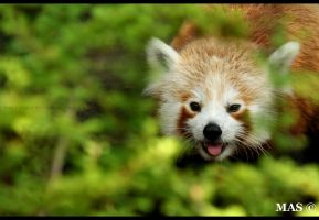 RED PANDA_1580 by MASOCHO