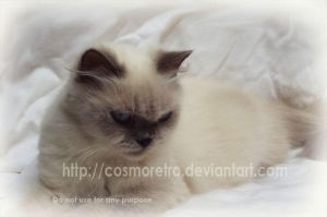 My Cat - Snowy by cosmoretro