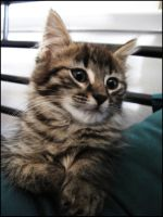 Foster Kitten Rose III by CandaceIsVampire
