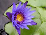 Purple Water Lily by esee