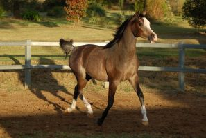 JA Arab Rose Grey Trot elevated by Chunga-Stock
