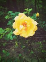 Rose. by CindyLouWhoXox