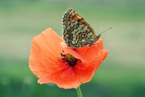 .:The Butterfly and The Poppy:. by bogdanici