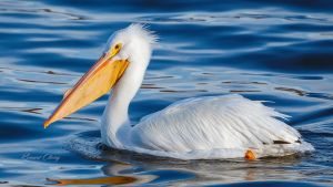 .:Pelican In Blue:. by RHCheng
