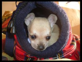 Teh Baby Chihuahua by dogs