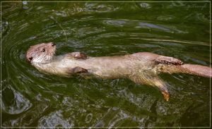 European otter swimming by Triumfa