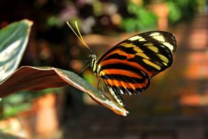 Isabella Longwing Butterfly by ParadoxGirl411