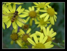 Hoverfly by Vampiric-Pirate