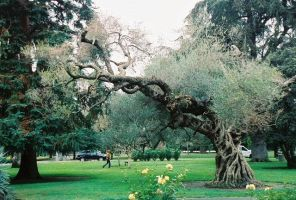 the olive tree by champaignful