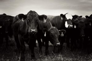 Heres looking at Moo by SweetPeaPhototc