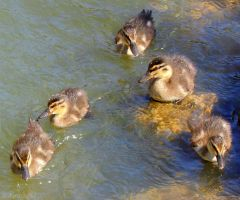 V ducklings by Jorapache