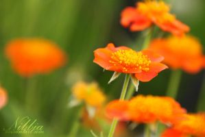 Orange Dreams by nibbia