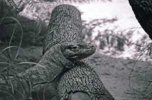 Komodo Dragon 3 by Saltycroc
