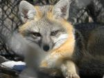 Gray Fox by PinCollector99
