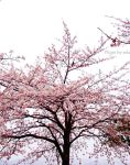 rain, cherry blossom, bird. by solalis1226
