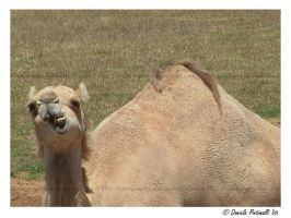 Goofy camel by TVD-Photography