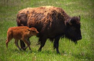 Bison with Calf by ElaineSeleneStock