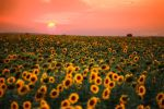 Sunflower Sunset by John77