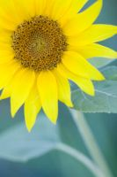 Lonely Sunflower by amarand