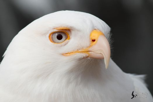 Leucistic Red Tailed Hawk 3 by EdgedFeather