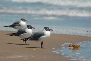 Laughing Gulls by ruffian11
