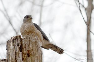 Cooper's Hawk by GuillaumGibault