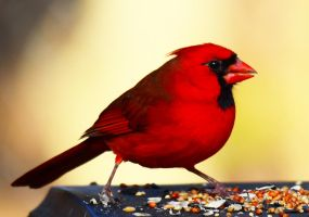 Male Cardinal1-28-13 by Tailgun2009